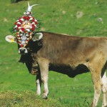 Aufkranzte Kuh beim Abtrieb