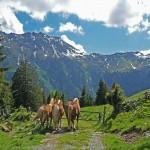 Drei Pferden genießen das Leben auf der Alm, Foto: Sabine Hechenberger