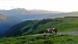 Die Kühe genießen die Ruhe am Abend, Foto: Sabine Hechenberger