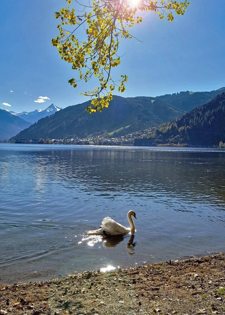 Wunderschöner weißer Schwan am Ufer des Zeller Sees, Foto: Sabine Hechenberger