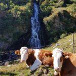 Zwei Kühe chillen vor dem Wasserfall, Foto: Sabine Hechenberger
