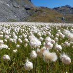 Wollgräser beim Bergsee, Foto: Sabine Hechenberger