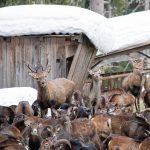 Rehe, Hirsche und Wildschafe bei der Futterstelle, Foto: Nadine Dreiseitl