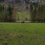 Büffel im großen Wildpark-Areal, Foto: Sabine Hechenberger