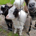 Kleine Ziegen die man mit den Leckerlis füttern kann,Foto: Sabine Hechenberger