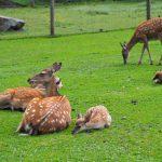 Rehe im Wildpark Ferleiten, Foto: Sabine Hechenberger