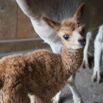 Kleines Alpaka, Foto: Sabine Hechenberger