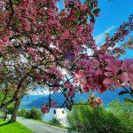 Blühender Baum am Zeller See, Foto: Sabine Hechenberger