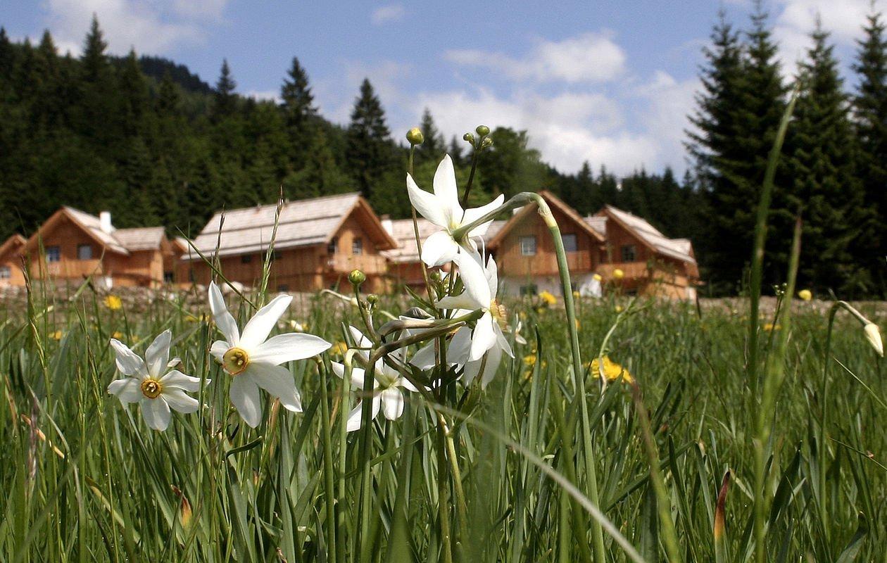 Narzissen blühen in der Wiese direkt vor den Ferienhäusern in Altaussee