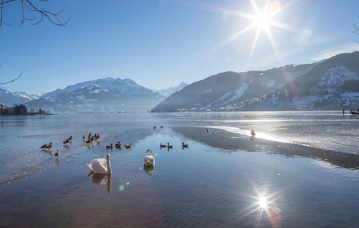 Schwäne schwimmen in der Winterzeit im glasklaren Zeller See